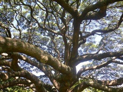 日立の樹の内側