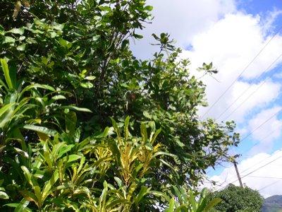 マカダミアナッツの木。こんな風になっていたのか・・・。
